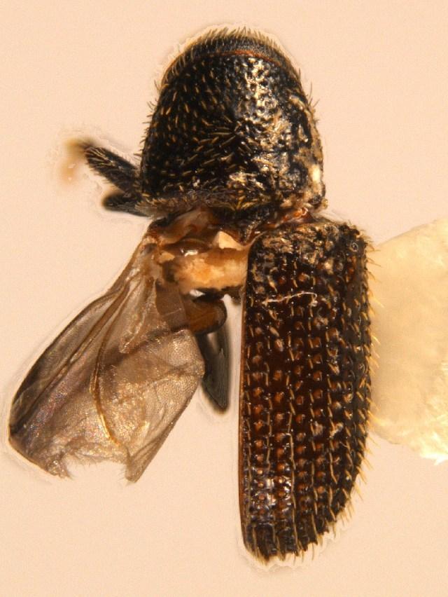 Image of <i>Phloeotribus spinulosus</i> Wood & Bright 1992