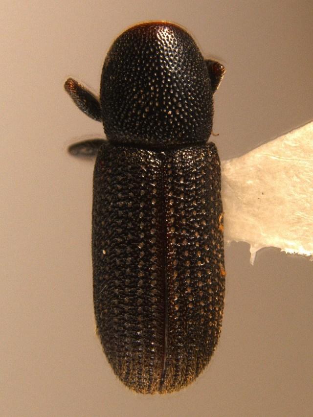 Image of <i>Hylastes brunneus</i> Erichson 1836