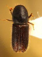 Image of <i>Orthotomicus suturalis</i> Wood & Bright 1992