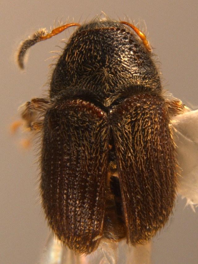 Image of <i>Phloeotribus scarabaeoides</i>