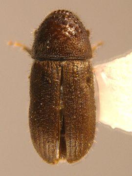 Image of <i>Cryphalus longus</i>