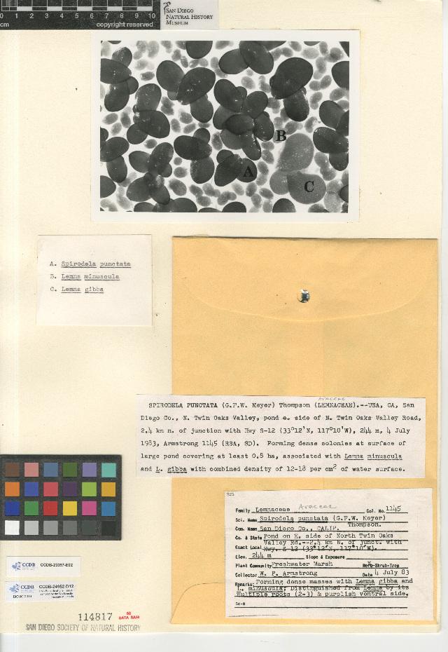 Image of <i>Spirodela punctata</i> (G. Mey.) C. H. Thomps.