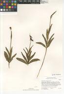 Image of <i>Fritillaria <i>biflora</i></i> biflora