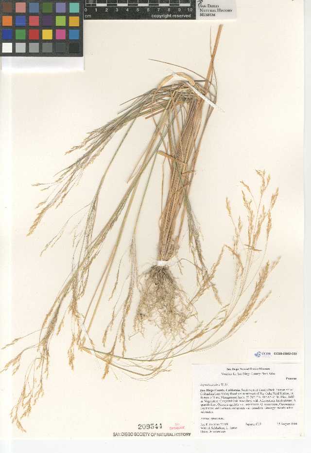 Image of rough bentgrass
