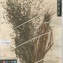 Image of <i>Eragrostis <i>mexicana</i></i> mexicana