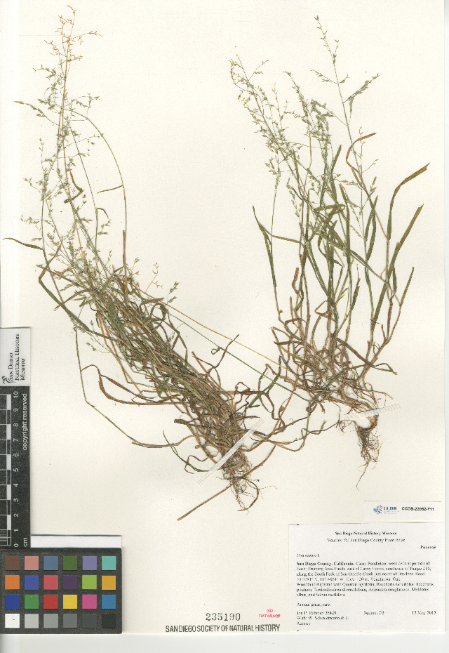 Image of Annual Meadow Grass