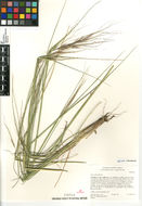 Image of <i>Stipa pulchra</i>