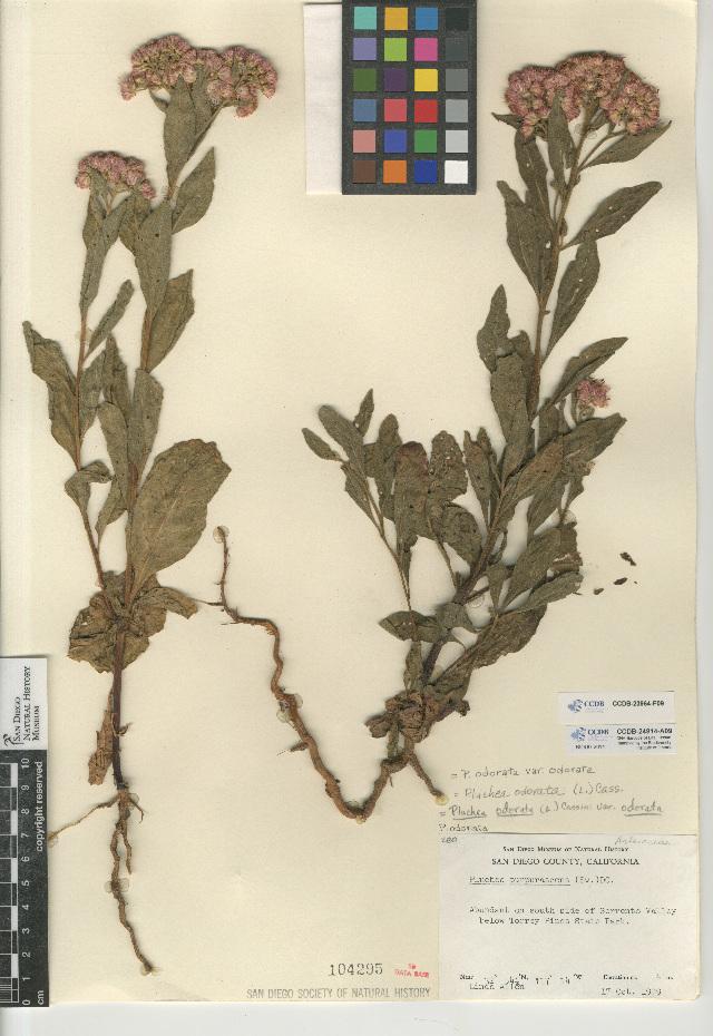 Image of <i>Pluchea <i>odorata</i></i> odorata
