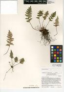 Image of <i>Myriopteris covillei</i> (Maxon) A. & D. Löve