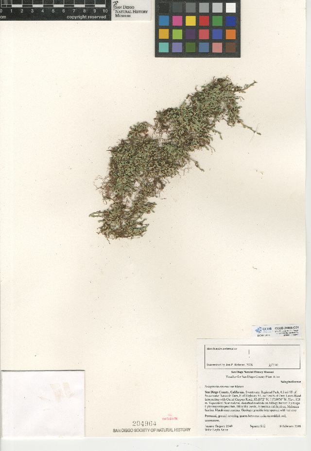 Image of mesa spikemoss