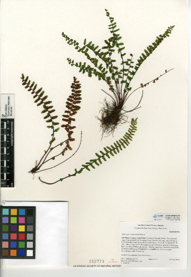 Image of western spleenwort