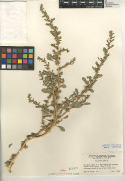 Image of prostrate pigweed