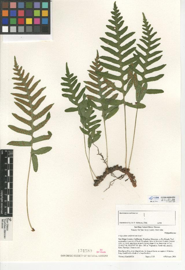Image of California polypody