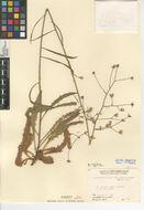 Image of southern hawkweed