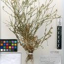 Image of <i>Volutaria canariensis</i> G. Wagenitz