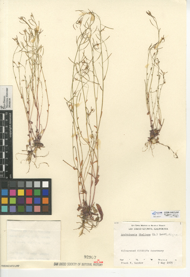 Image of Mouse-ear Cress