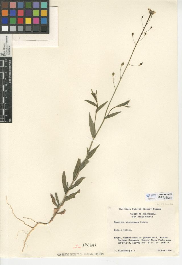Image of littlepod false flax