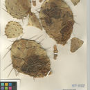 Image of Brownspine Pricklypear