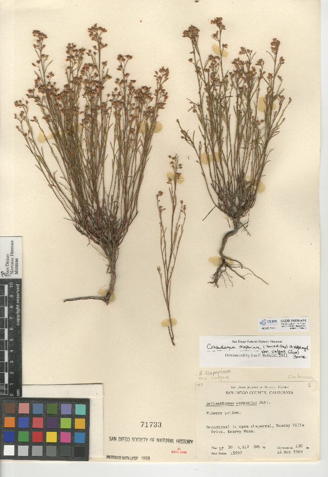 Image of <i>Crocanthemum scoparium</i> var. <i>vulgare</i>