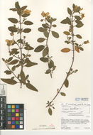 Image of salvia cistus