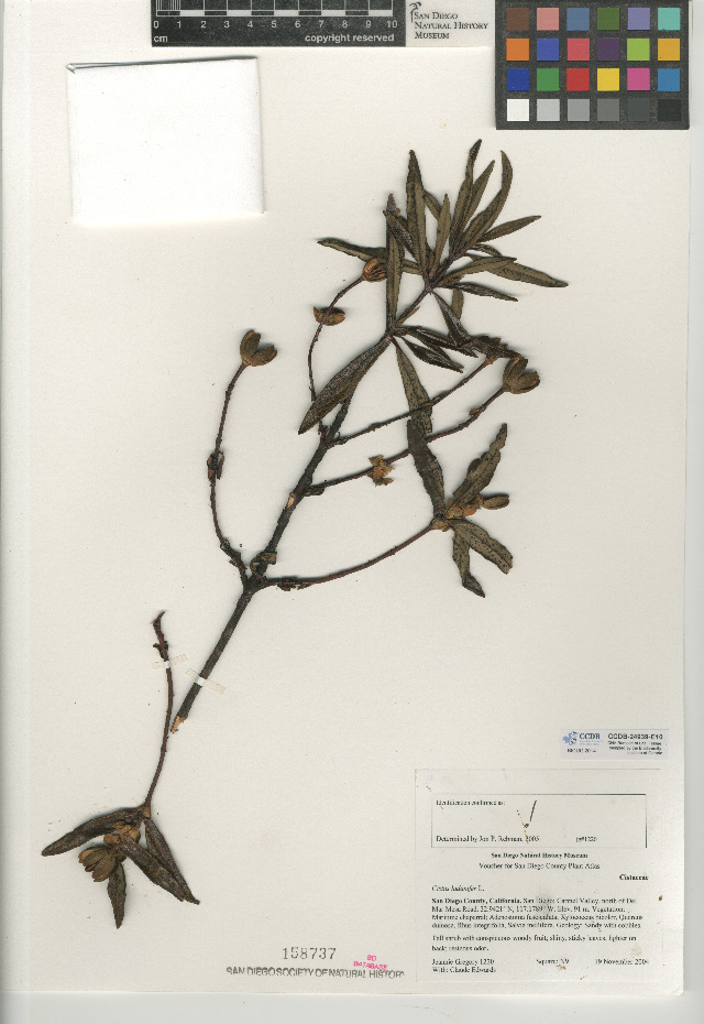 Image of common gum cistus