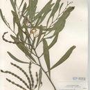 Image of orange wattle