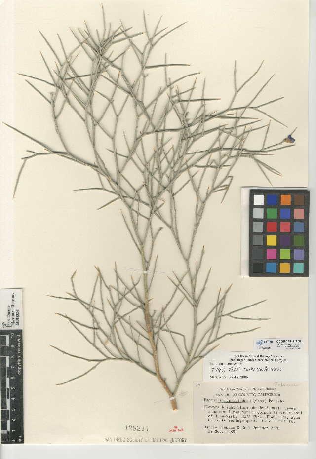 Image of smoketree