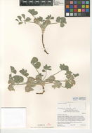 Image of California Indian breadroot