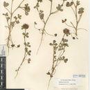 Sivun <i>Trifolium hirtum</i> All. kuva