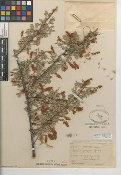 Image of <i>Senegalia greggii</i>