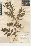 Image of licorice