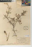 Image of <i>Krameria bicolor</i> S. Watson