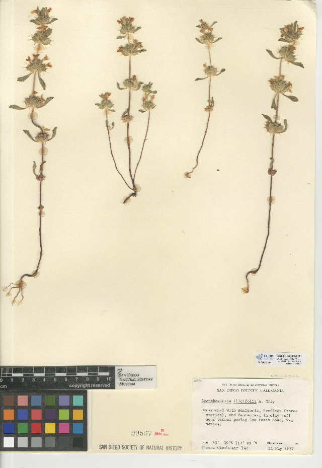 Image of San Diego thorn-mint