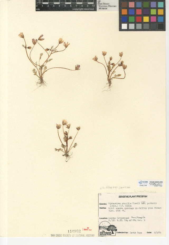 Image of Parish's slender meadowfoam