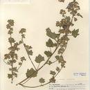 Image of Tree mallow