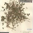 Image of <i>Oxalis <i>corniculata</i></i> ssp. corniculata