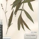Image of Swamp smartweed