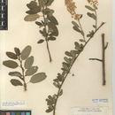 Image of Palmer ceanothus