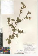 Image of <i>Drymocallis glandulosa</i> var. <i>wrangelliana</i>