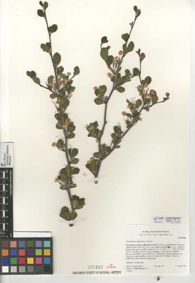 Image of <i>Cercocarpus minutiflorus</i>