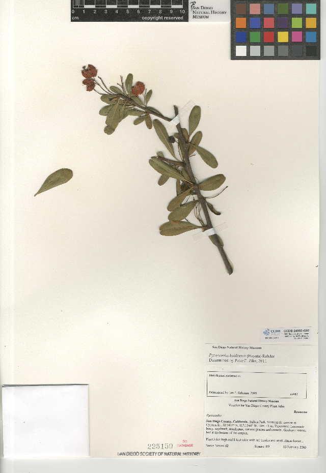 Image of Formosa firethorn