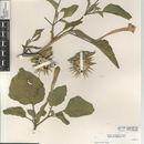 Image of desert thorn-apple