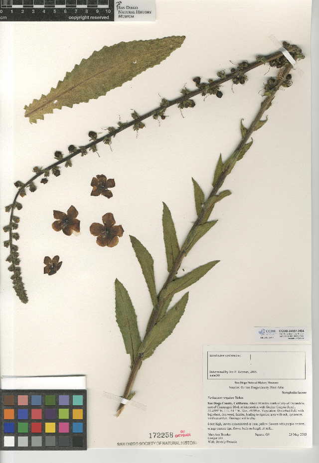 Image of wand mullein