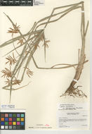Image of <i>Cyperus esculentus</i> var. <i>leptostachys</i>