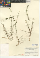 Image of waterthyme