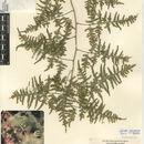 Image of Emerald asparagus fern