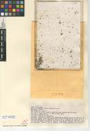 Image of Asian watermeal