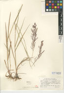 Image of creeping bentgrass