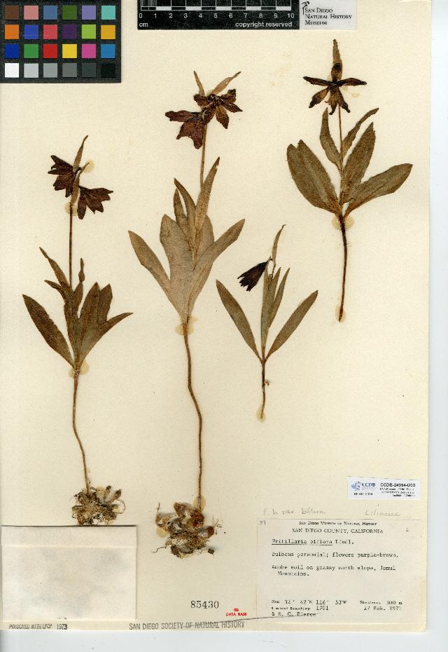 Image of <i>Fritillaria <i>biflora</i></i> var. biflora