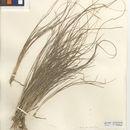 Image of spidergrass
